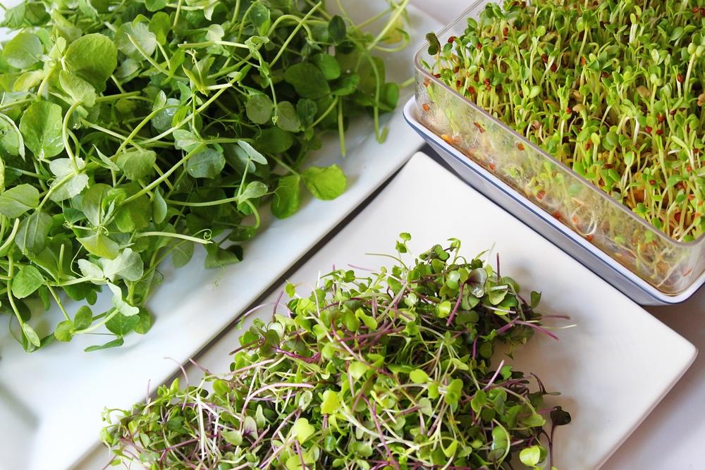 Řeřicha, bylinky, pěstování