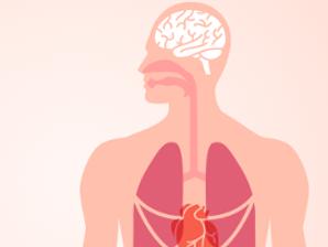 Orgány a strava_srdce